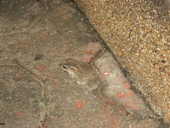 Panviman Resort - Koh Pha Ngan: Frog we encountered on way to the room