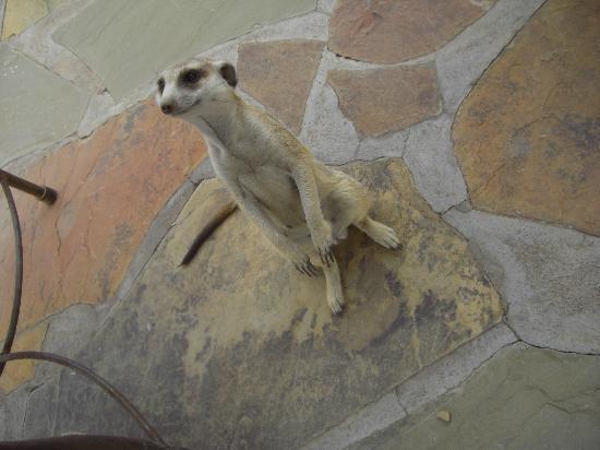 Kalahari Red Dunes Lodge: Erdmännchen
