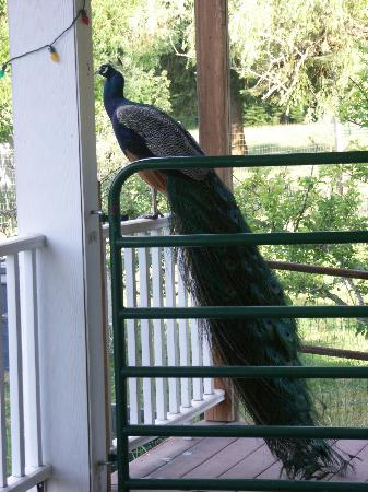 Amber Bear Inn: male peacock