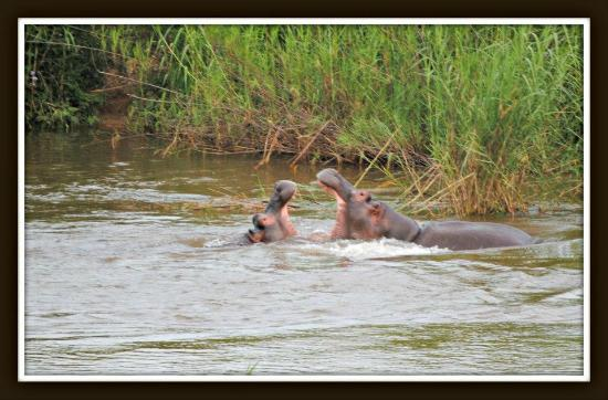 Hippo show in the Sabie River Viewed from the Deck at Sabie River Bush Lodge