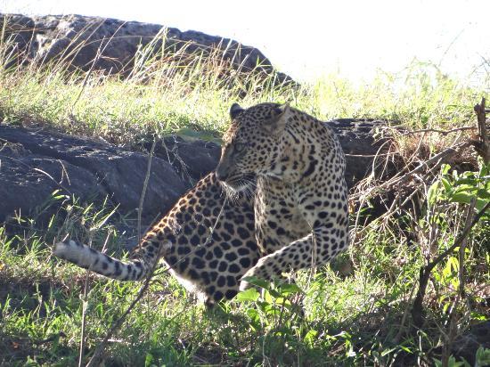 Neptune Mara Rianta Luxury Camp: leopard