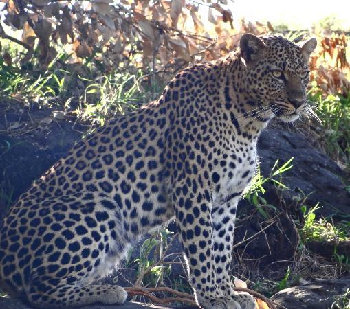 Neptune Mara Rianta Luxury Camp : leopard