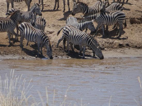 Neptune Mara Rianta Luxury Camp: zebra with close call to croc!