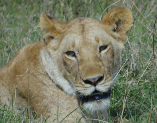 Neptune Mara Rianta Luxury Camp: lioness