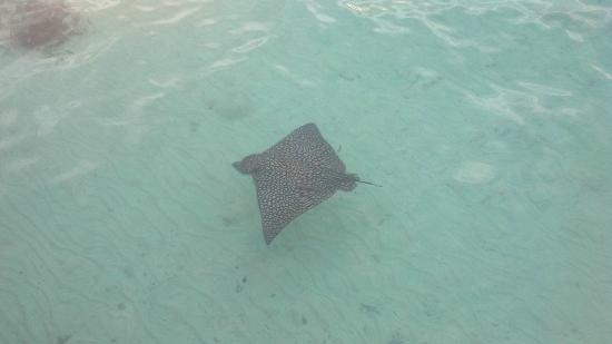 Coco Plum Island Resort: Rays swim right next to the dock