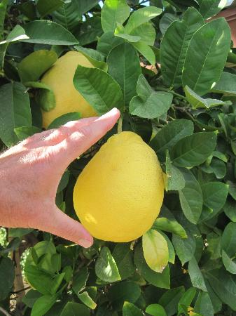 A Place in the Sun Garden Hotel: Lemons the size of large grapefruits!
