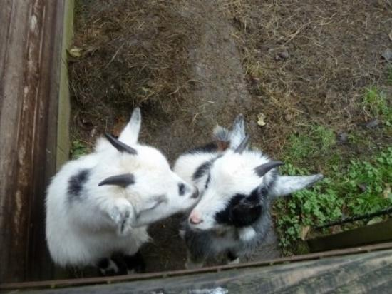 School Cottages Bed & Breakfast: The goats