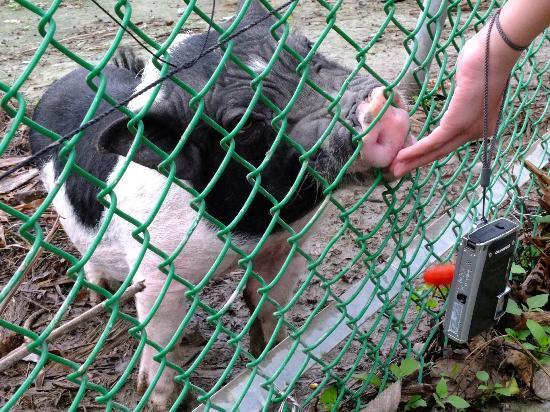 Hualien Bay: Pet pig