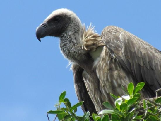 Naibor Camp: Young vulture outside our tent