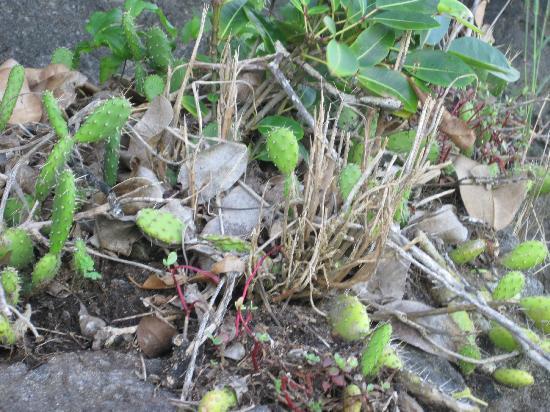 Maria Islands Nature Reserve: smaller cacti