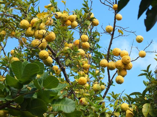 Tet Paul Nature Trail: Local fruits grown in the local farming areas.