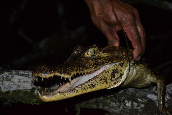 Urraca Private Island: Croc safari