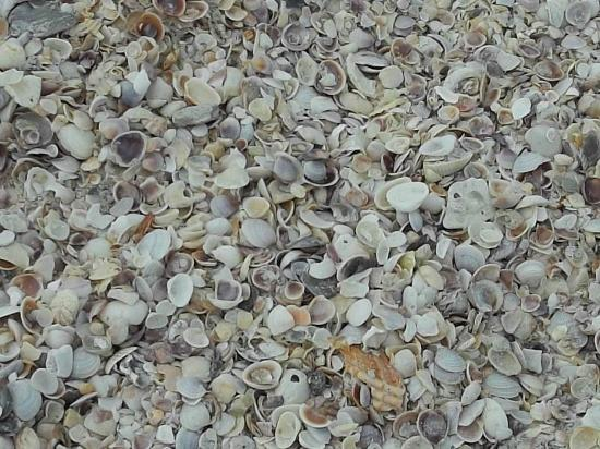 Beachcomber Beach Resort & Hotel: Shells that showed up one morning on my early walk