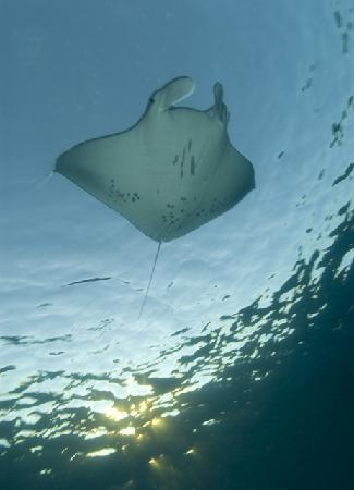 Bali Hai Diving: Manta Ray at Bali, Nusa Penida