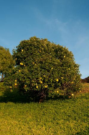 The INN at Europa Village : Lemon Tree