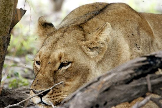 Savute Safari Lodge: Lioness on road toward Linyanti