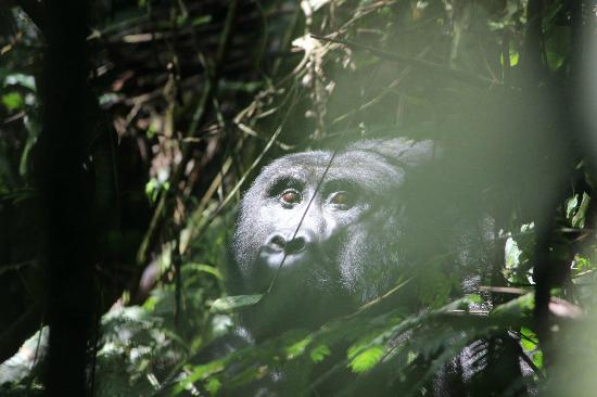 Bwindi Lodge: Gorilla trekking pics