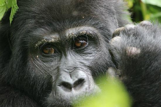 Bwindi Lodge: Gorilla Trekking
