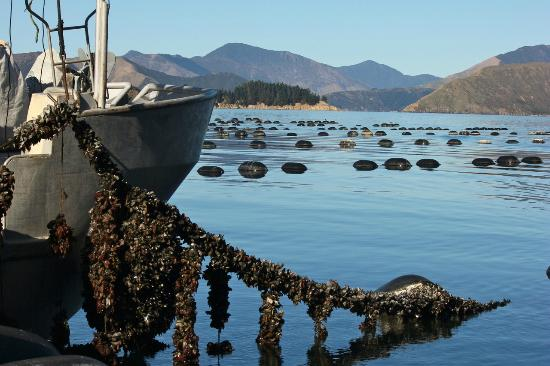 Mussel Farm tour on the Pelorus Mail Boat