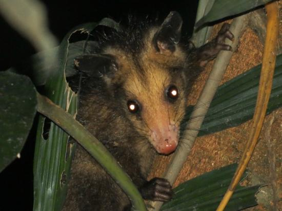 Tambopata Research Center: oppossum