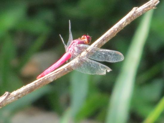 Tambopata Research Center: pretty dragonfly