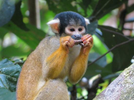 ‪تامبوباتا ريسيرش سنتر لودج: squirrel monkey