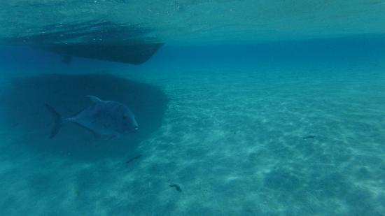 Black Pearl Charters: ~35kg of GT. We swam with it. We swam away from it. Both seemed reasonable at different times.