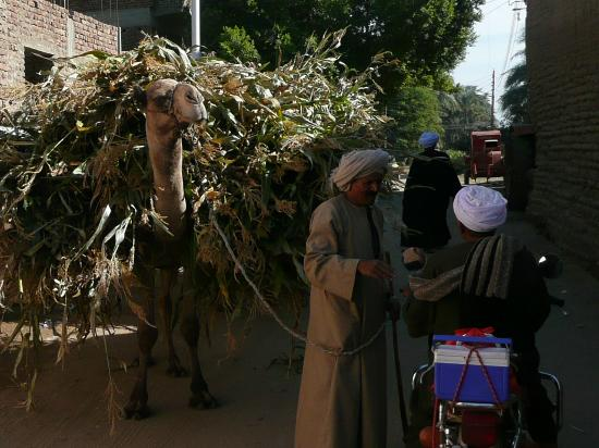Nobi Stables - Luxorstables: Camels in the village