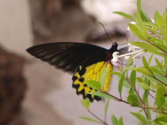 Gem Island Resort & Spa: Rare Yellow Birdwing butterfly - not so rare here
