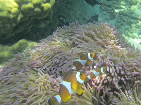 ‪جيم أيلاند ريزورت آند سبا: Clown fish amidst the anenomes