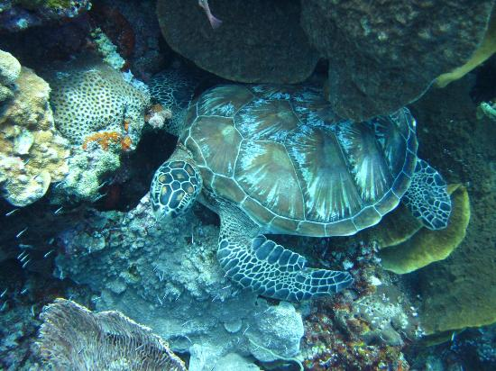 Bunaken Cha Cha Nature Resort: turtle