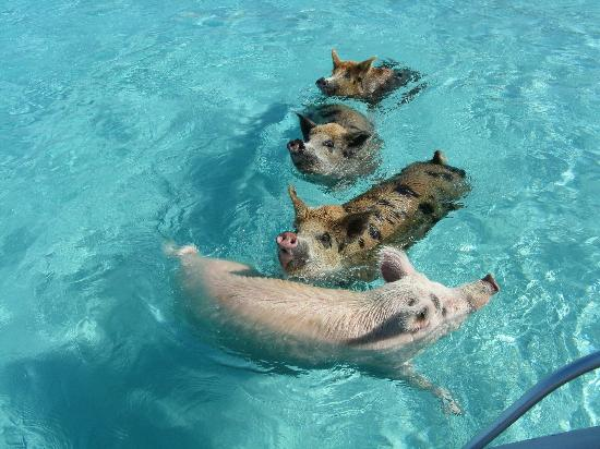 Augusta Bay Bahamas: The famous swimming piggies, coming to a boat for scraps
