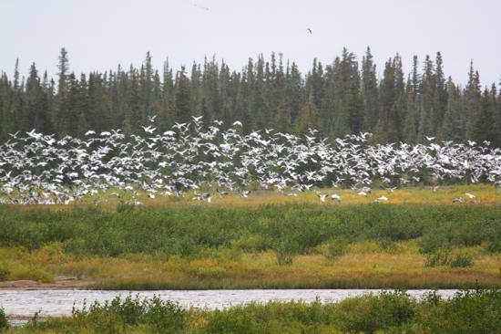 Kaska Goose Lodge: Snow Geese across from the lodge