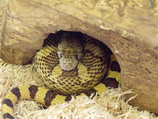 Helen Schuler Nature Centre: Sophie the Gopher Snake.  She loves to come out of her cage for a visit.