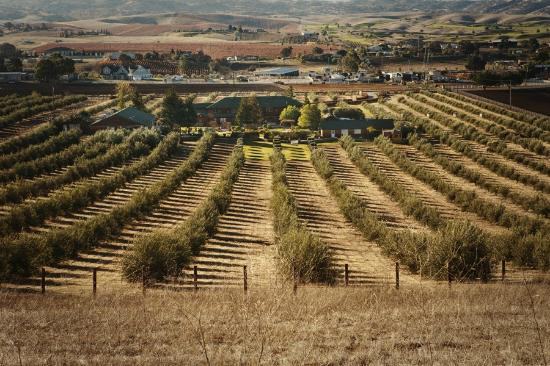 The Purple Orchid Wine Country & Spa: 20 Acres of Olive Orchards
