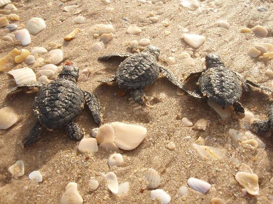 Корпус-Кристи, Техас: Turtles at Padre Island National Seashore