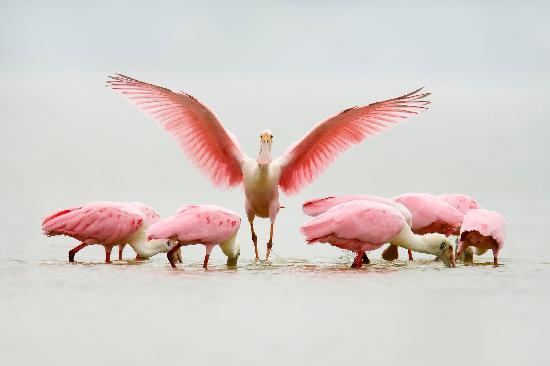 Corpus Christi, Teksas: Group of Spoonbills