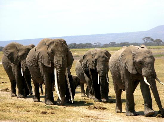 Porini Amboseli Camp: Her tusks were so long she bobbed her head up and down in order to walk