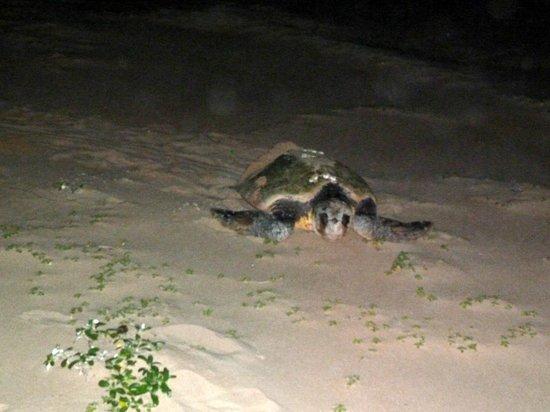 Extreme Nature Tours and Travel Day Tours: Schildpad die terug gaat naar zee