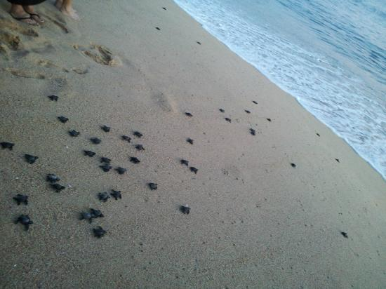 The Ridge at Playa Grande: Turtle release on Solmar Beach at sunset