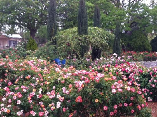 Roses In Garden: Picture Of El Paso Municipal Rose Garden