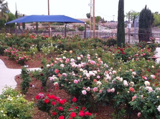 Beautiful El Paso Municipal Rose Garden: More Roses