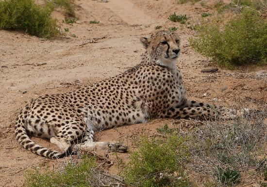 Inverdoorn Game Reserve Safaris: Cheetah In The Cheetah Conservation Area of Inverdoorn