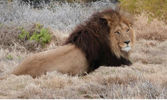 Inverdoorn Game Reserve Safaris: Majestic Male Lion At Inverdoorn