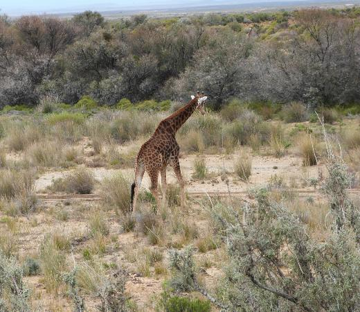 Inverdoorn Game Reserve Safaris: Giraffes At Inverdoorn