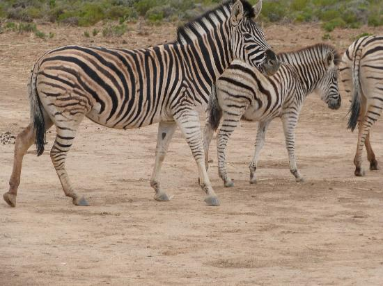 Inverdoorn Game Reserve Safaris: Herd of Zebra At Inverdoorn