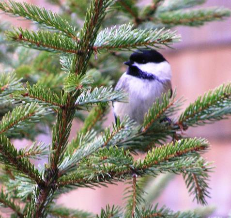 Sleepy Hollow Inn: Chickadee, waiting his turn to eat