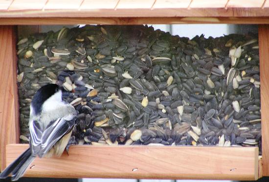 Sleepy Hollow Inn: Chubby little Chickadee enjoying breakfast