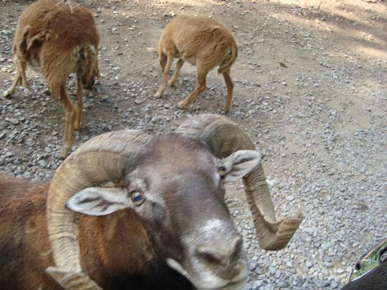 Harmony Park Safari: rams