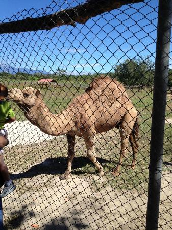 Ponderosa Adventure Park: camel